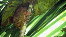 Syrichta de Tarsius tarsier philippin drôle Bohol Philippines photo libre de droits