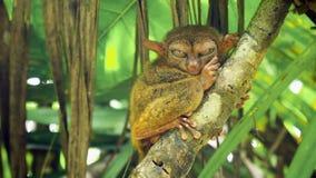 Syrichta de Tarsius tarsier philippin drôle Bohol Philippines photos stock