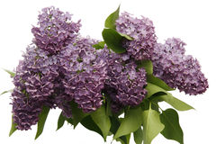 Syringa. Close-up of syringa blossoms over white background Royalty Free Stock Images