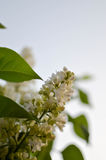 Syringa 2 Fotos de Stock