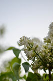Syringa Foto de Stock Royalty Free