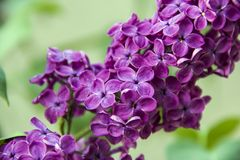 Syringa. Beautiful branch of Syringa lilac purple closeups Royalty Free Stock Images