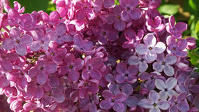 Syringa. Beautiful syringa in early summer Royalty Free Stock Image