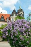 Syringa Blossom in Dresden Stock Photos