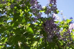 Syringa with bumblebee Royalty Free Stock Photo