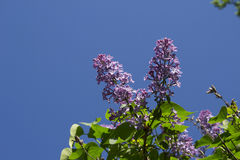 Syringa with bumblebee Royalty Free Stock Images