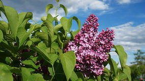 Syringa. Bush in early summer Stock Photos