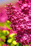 Syringa Royalty Free Stock Images