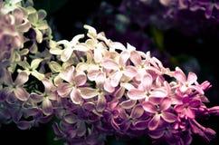 Syringa de florescência vulgar na mola, Ucrânia Fotos de Stock