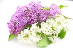Syringa de lilas commun vulgaris avec les fleurs violettes et blanches d'isolement sur un fond blanc Images stock