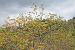 SYRINGA drzewo W PEŁNYM ziarnie zdjęcie royalty free