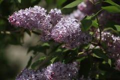 syringa för leaf för closeupblommagreen vulgaris lila Royaltyfri Foto