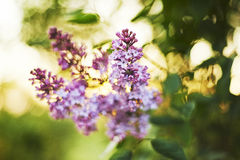 Syringa floreciente Fotos de archivo
