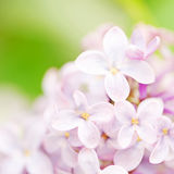 Syringa flower. Close up of beautiful syringa flower Royalty Free Stock Photos