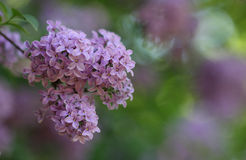 Syringa flower in park in  sunny day in May Stock Photo