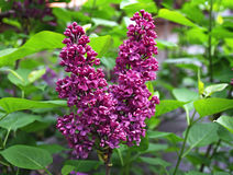Syringa flowers Royalty Free Stock Photos