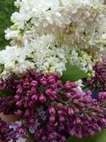 Syringa. Flowers and sprouts by spring Stock Images