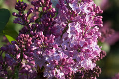 Syringa Flowers. In the Sunset Stock Photography
