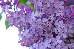 Syringa Flowers. In the Sunset Stock Photos