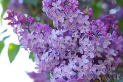Syringa Flowers. In the Sunset Stock Image