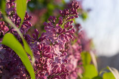 Syringa Flowers. In the Sunset Royalty Free Stock Photography