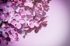 Syringa-gemeine lila Blumen Stockfoto