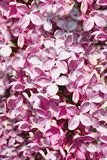 Syringa-gemeine purpurrote Flieder Stockfoto