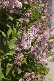 Syringa is a genus of shrubs belonging to the Oleaceae family.Luxurious shrub, extremely hardy, which grows well outdoors and. Decorates the spring gardens stock images