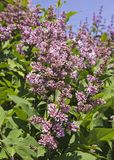 Syringa is a genus of shrubs belonging to the Oleaceae family.Luxurious shrub, extremely hardy, which grows well outdoors and. Decorates the spring gardens royalty free stock photos