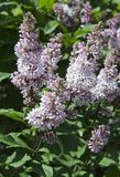 Syringa is a genus of shrubs belonging to the Oleaceae family.Luxurious shrub, extremely hardy, which grows well outdoors and. Decorates the spring gardens stock photography