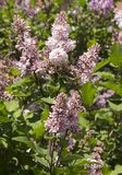 Syringa is a genus of shrubs belonging to the Oleaceae family. royalty free stock photography
