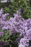 Syringa is a genus of shrubs belonging to the Oleaceae family royalty free stock image