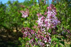 Syringa Hyacinthiflora in the park. In the spring in Stock Photo