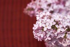Syringa lilac Royalty Free Stock Photo