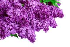 Syringa Lilac background Royalty Free Stock Photography