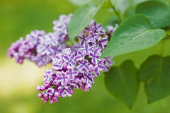 Syringa. Lilac syringa closeup view on the green background Stock Image