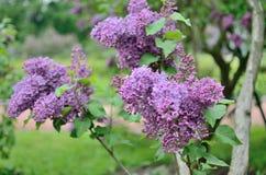 Syringa lilac flowers Royalty Free Stock Image