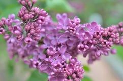 Syringa lilac flowers Stock Photography
