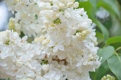 Syringa lilac flowers Stock Photos