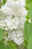 Syringa lilac flowers Stock Photo