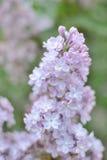 Syringa lilac flowers Royalty Free Stock Photo