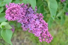Syringa lilac flowers Royalty Free Stock Images