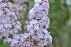 Syringa lilac flowers Stock Image
