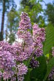 Lush blooming sprig of wild forest lilac on the clear summer evening, Moscow suburbs, Russia. royalty free stock photo