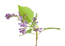 Syringa (Lilac) isolated on white background Royalty Free Stock Photography