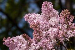 (Syringa) lilac Royalty Free Stock Image