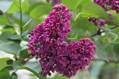 Syringa - Lilac Tree Royalty Free Stock Image