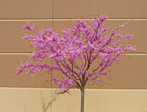 Syringa lilas d'arbre Photos stock