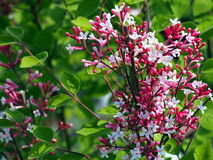 Syringa macrophylla 'Superba' Stockfotos