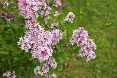 Syringa meyeri Palibin Korean lilac Stock Photos
